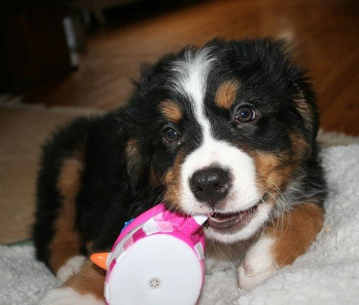 Berners love to chew and will need tough toys.