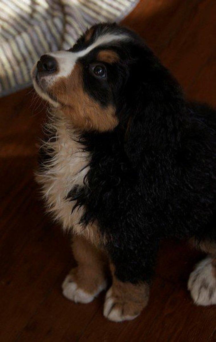 A young Berner just after a bath.