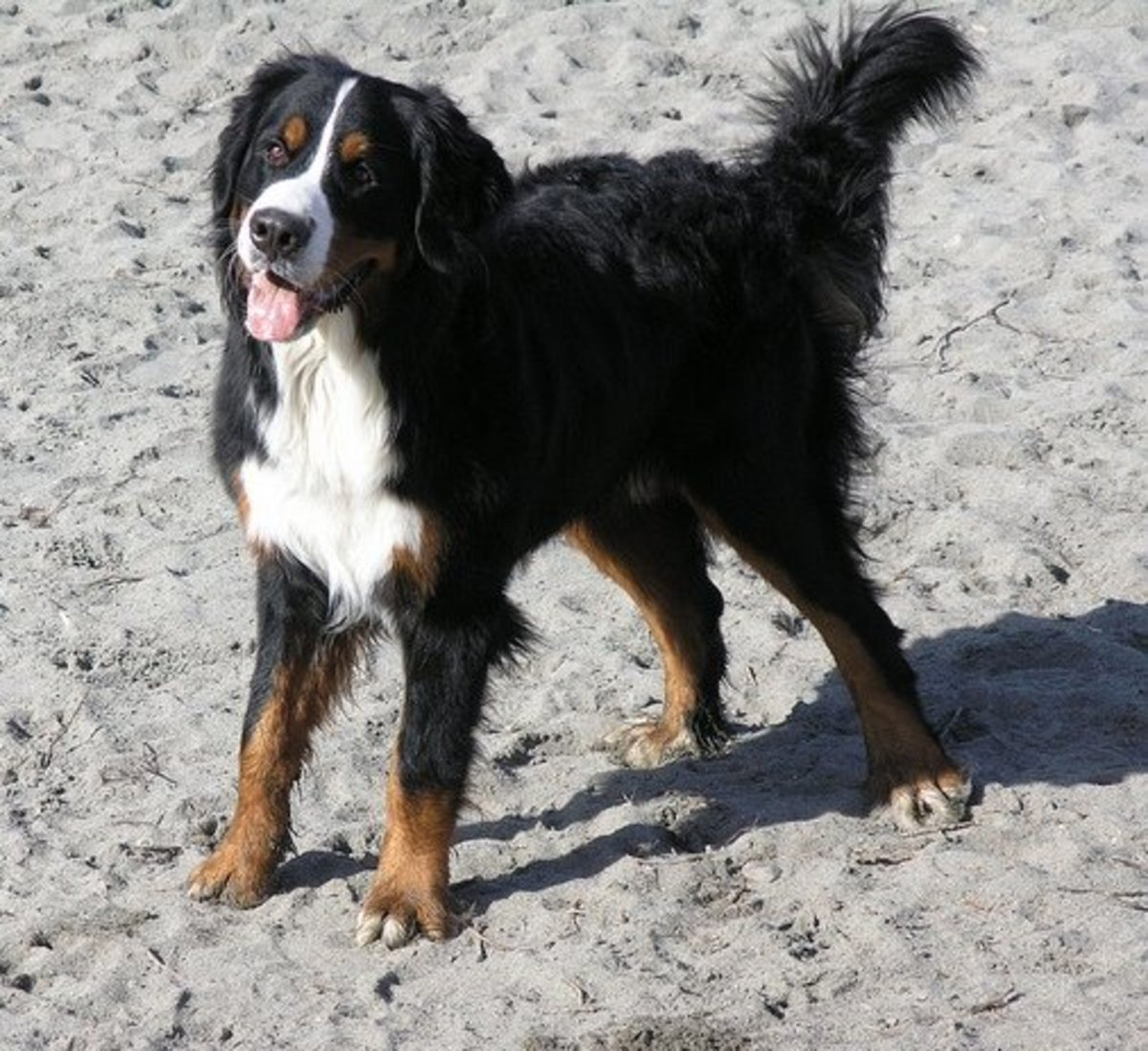 Bernese Mountain Dogs don´t just like the mountains--these dogs are even fond of the beach.
