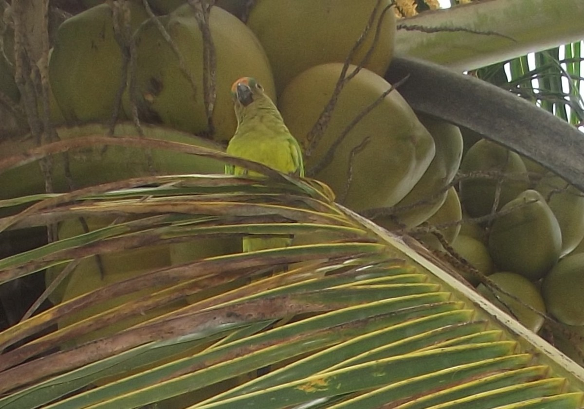 Parrots and other pets benefit from coconut, too.