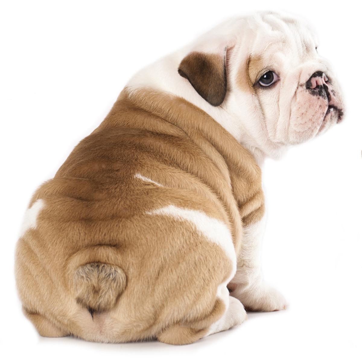 "Bulldogs make great companions, just ask Adam Sandler! He has a bulldog named ""Meatball."""