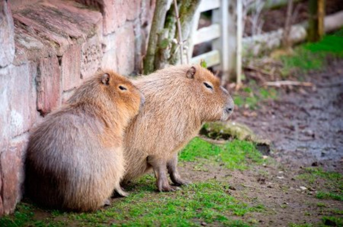 Capybaras are in the same family as guinea pigs. They are as big as dogs but you can see the resemblence.