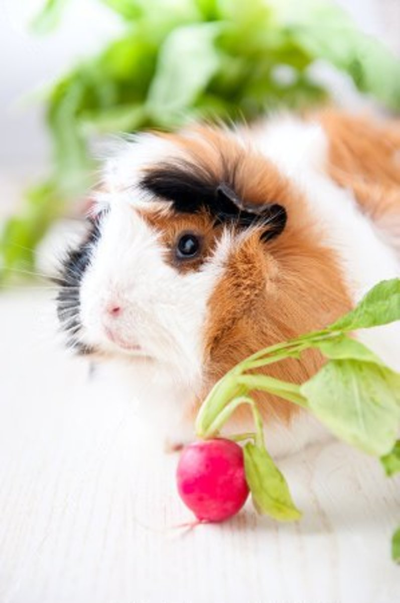 "The formal name for guinea pigs is ""cavies"", but for pets, ""guinea pigs"" sounds so much cuter."
