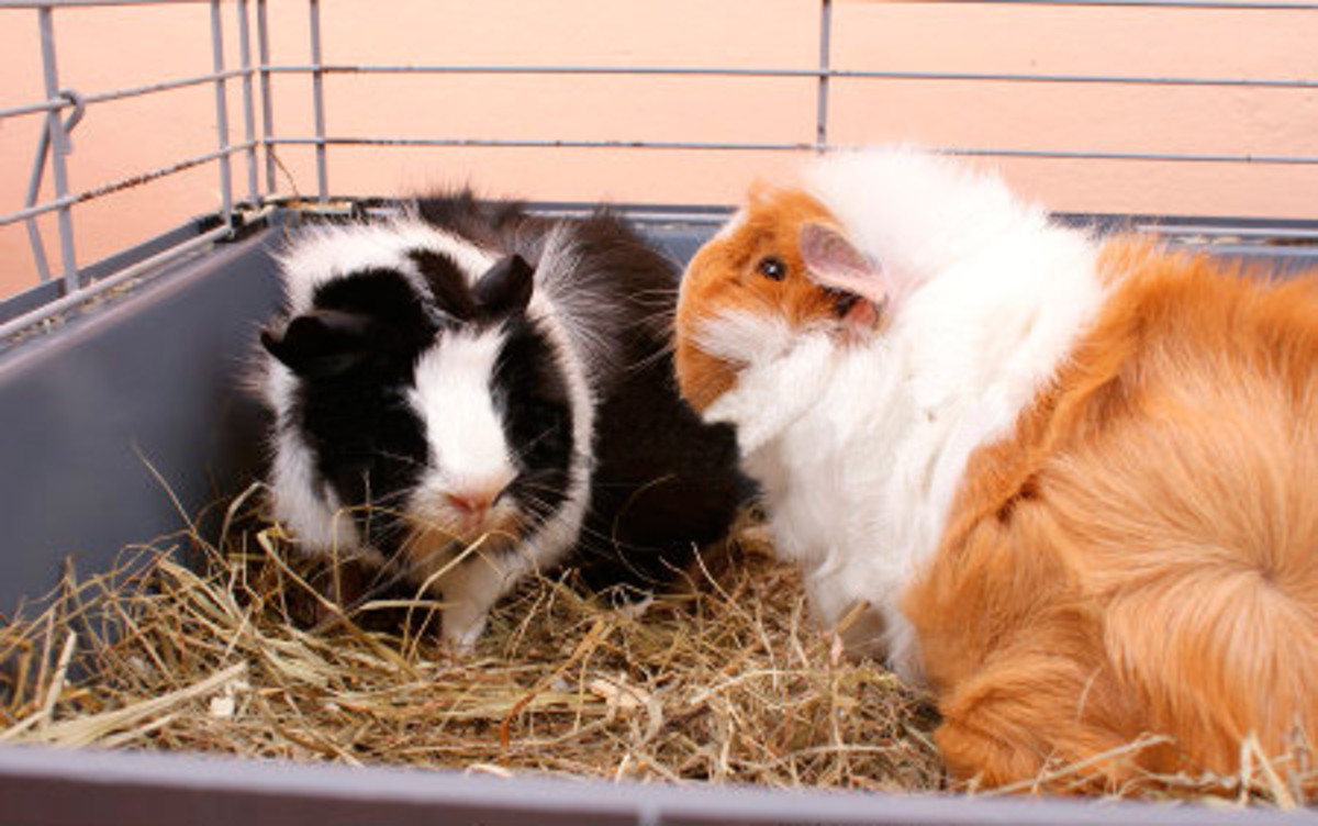 All guinea pigs enjoy having companions, but Abyssinians in particular are happiest with a friend.