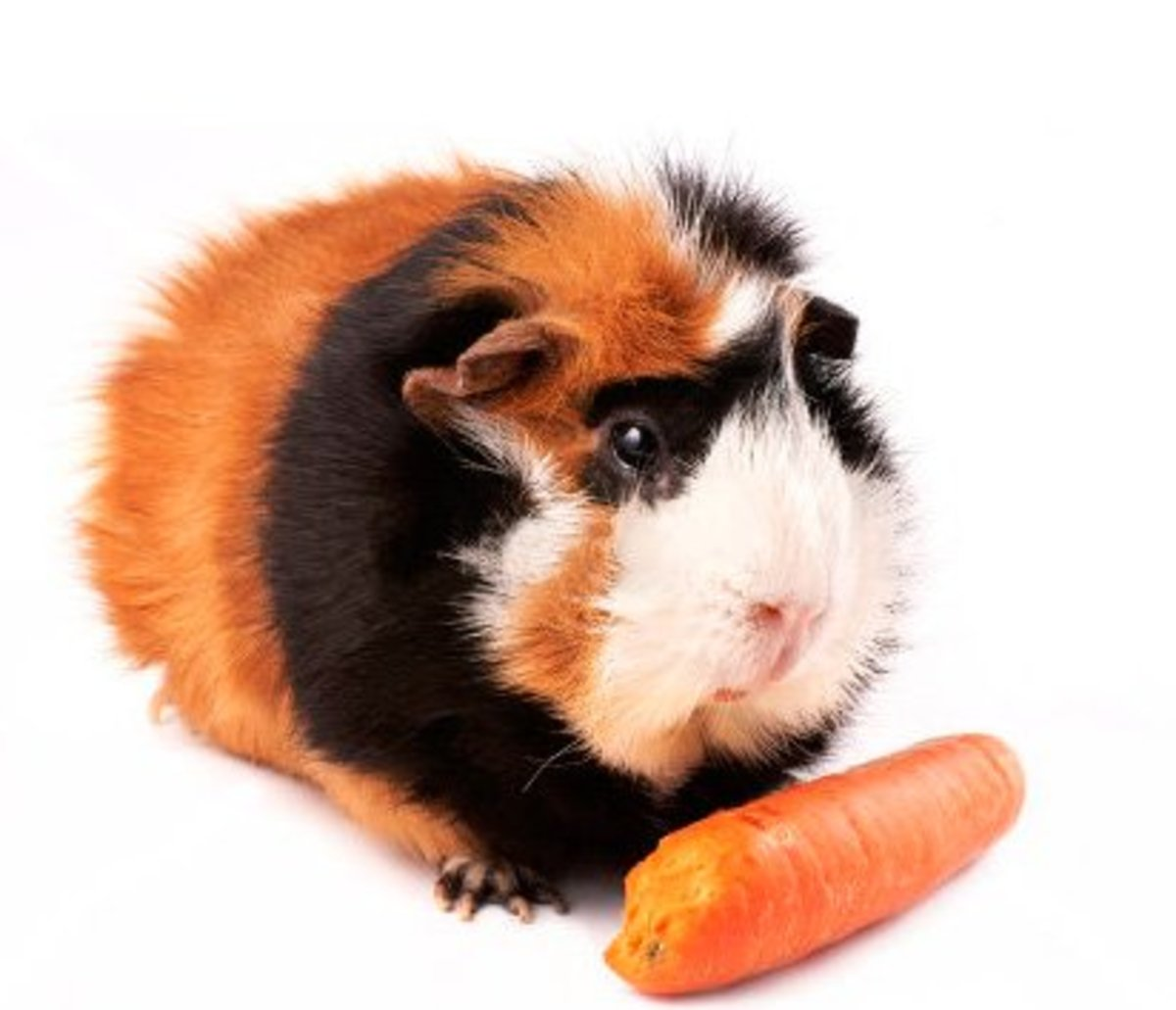 A tortoiseshell and white Abyssinian guinea pig.