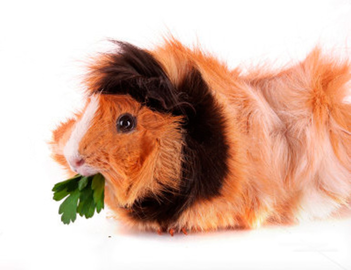 "This Abyssinian guinea pig has an interesting ""lion"" look, due to its dark brown, fluffy mane."