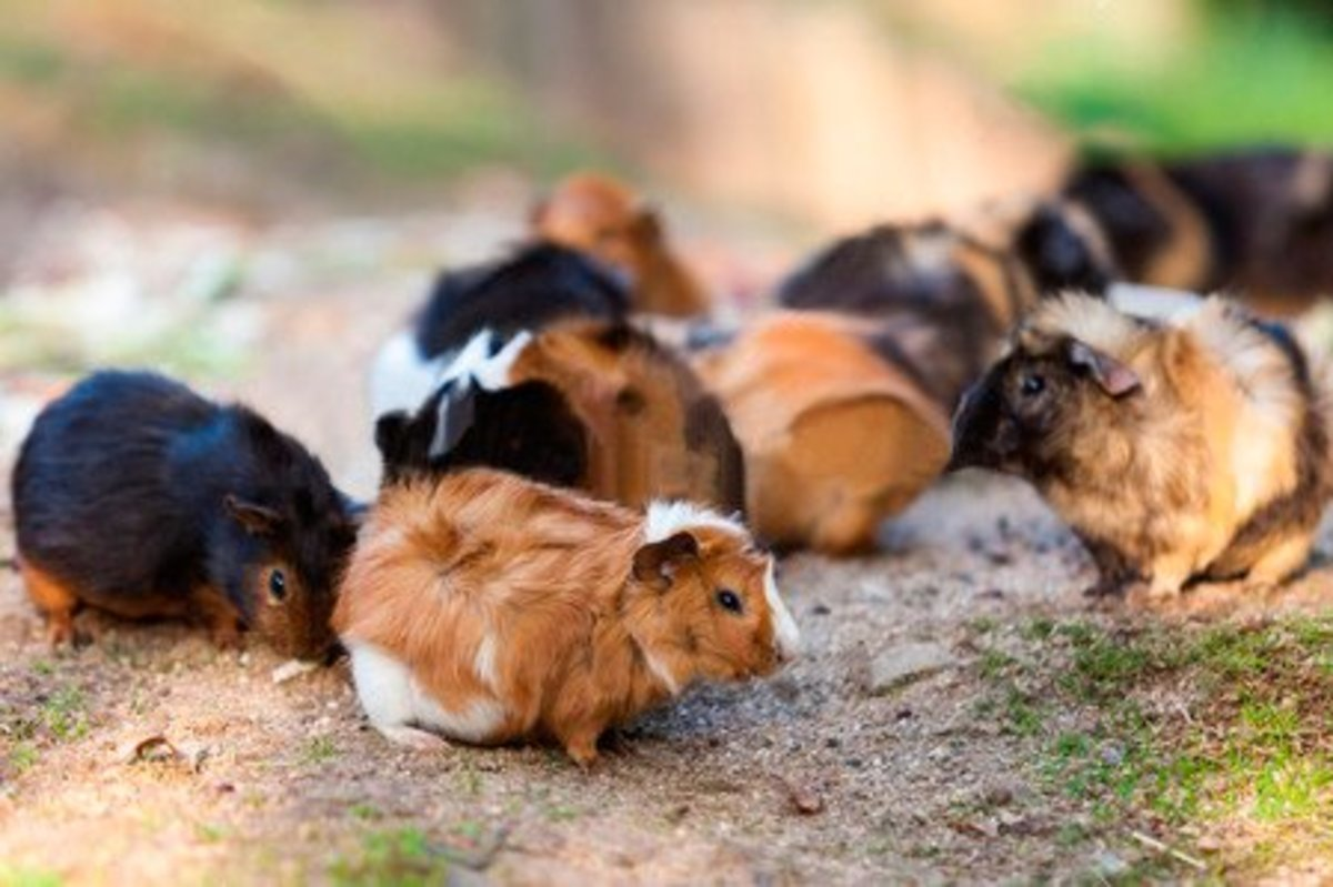 "Guinea pigs were a big hit when they first arrived in England and were sold as pets. The Abyssinian name sounded more exotic than calling them ""Rough Haireds""."