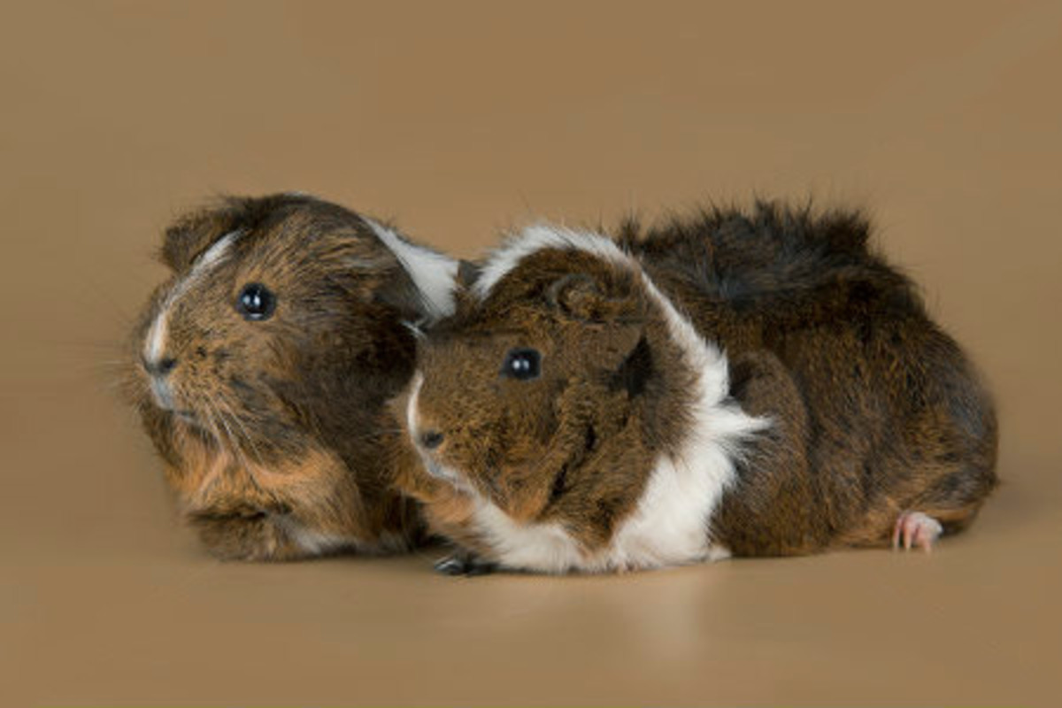 """Agouti Abyssinians have a """"salt and pepper"""" look."""