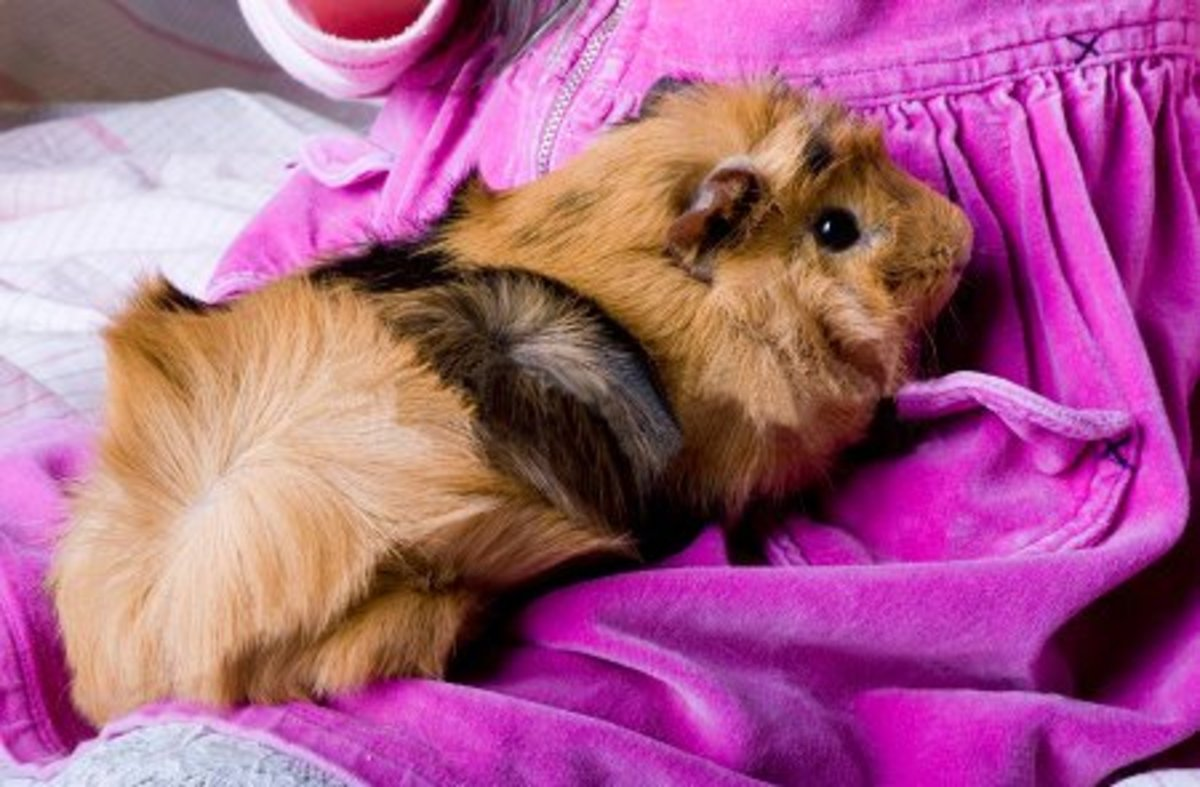 An example of the distinctive rosettes on the coat of an Abyssinian guinea pig.
