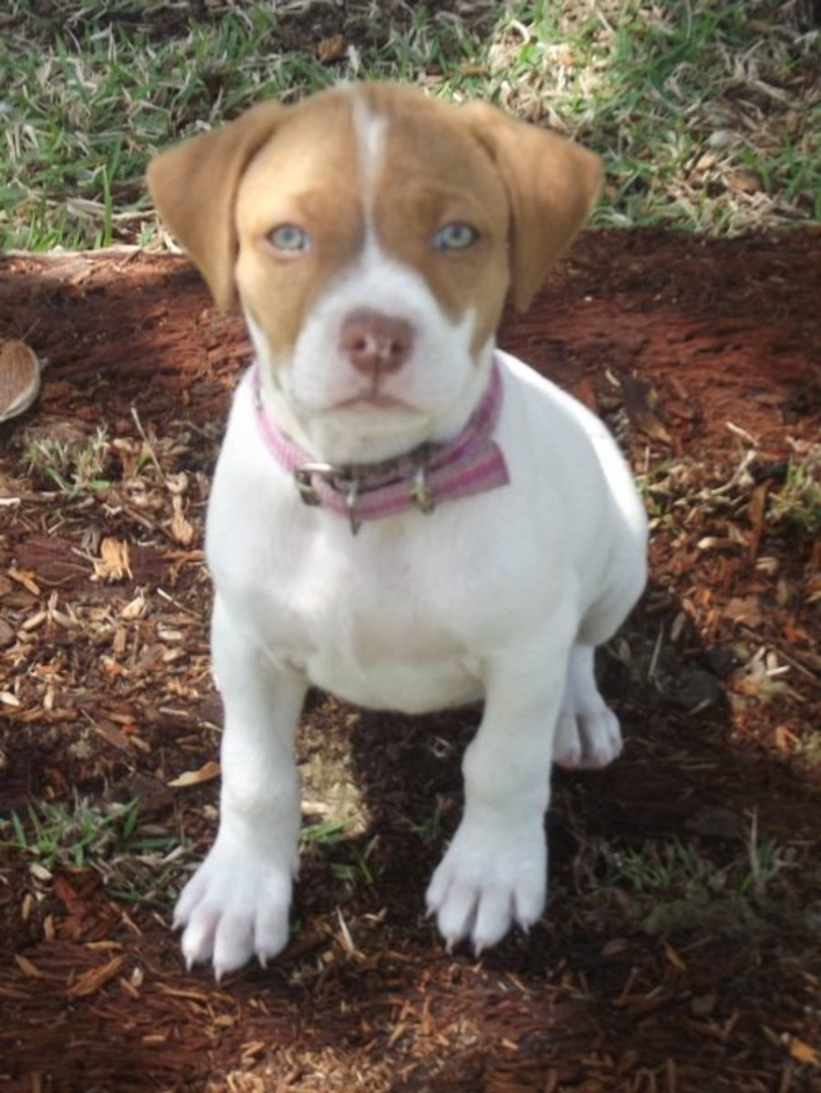 4 Basics You Must Teach to Train a Puppy Early