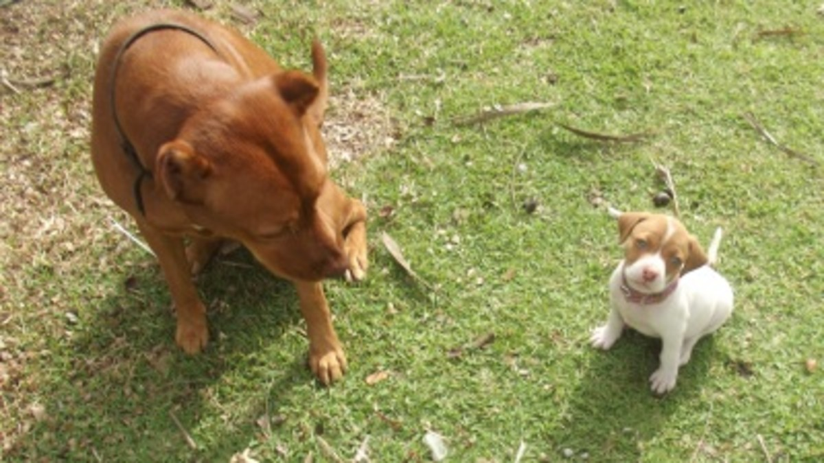 An older dog cannot teach commands but she can demonstrate calm behavior.