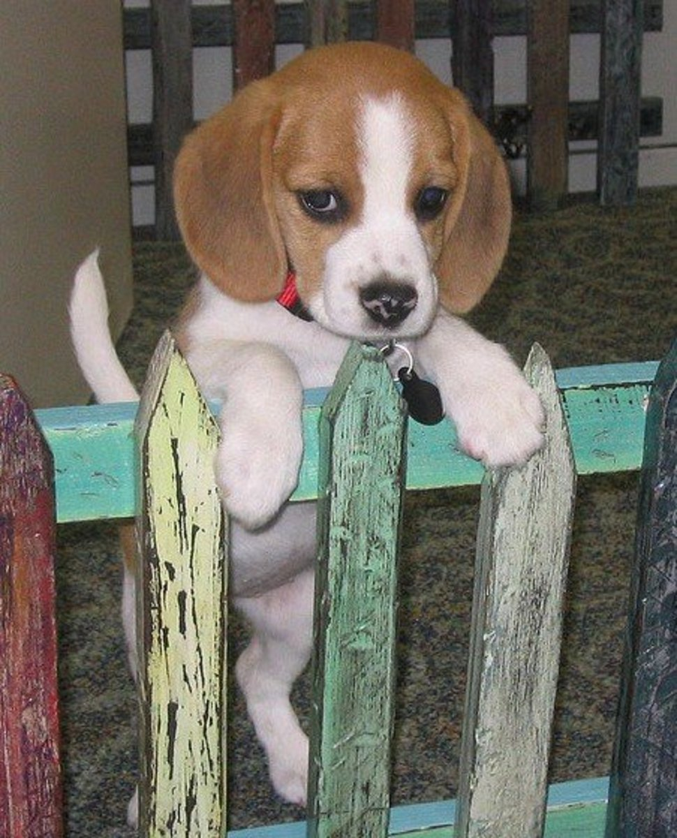 Beagles are healthy and make a great choice when selecting a new dog.