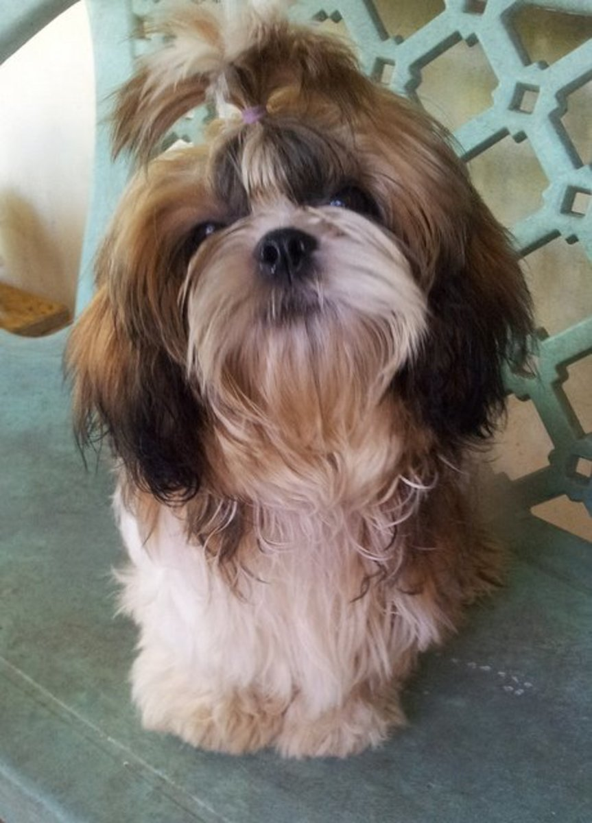 Shih Tzus are easy to care for.