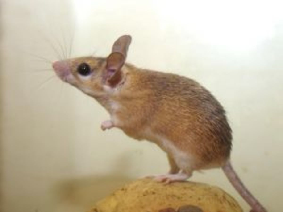 This happens to be a desert spiny mouse. Since they are more rare than the common domestic mouse, they can actually be sold for more money!