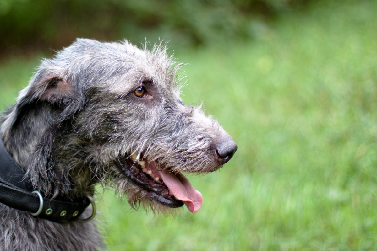 Irish Wolfhounds are the tallest of all dog breeds!