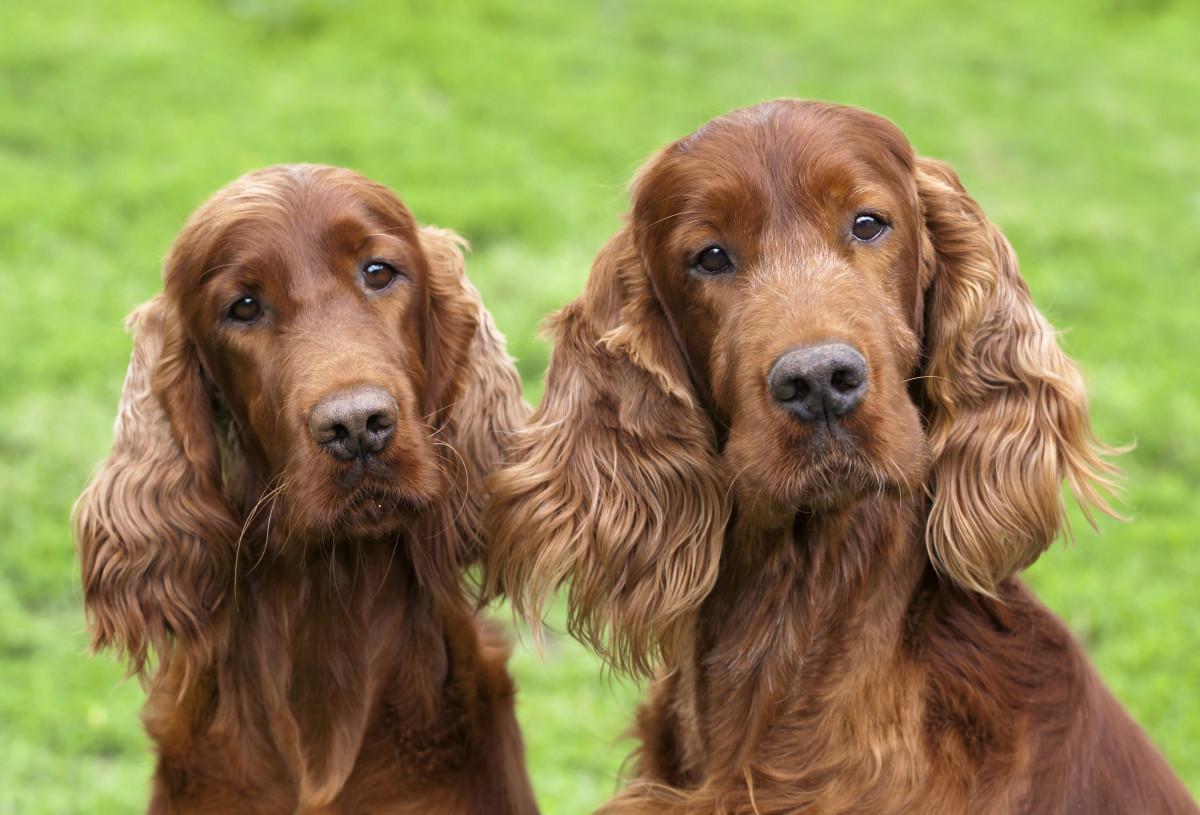 Beautiful Irish Setters