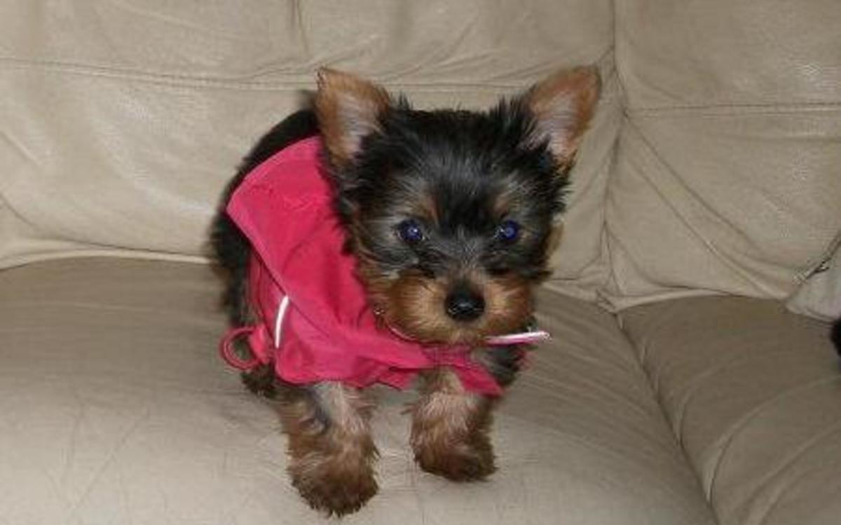 Yorksire Terrier Puppy