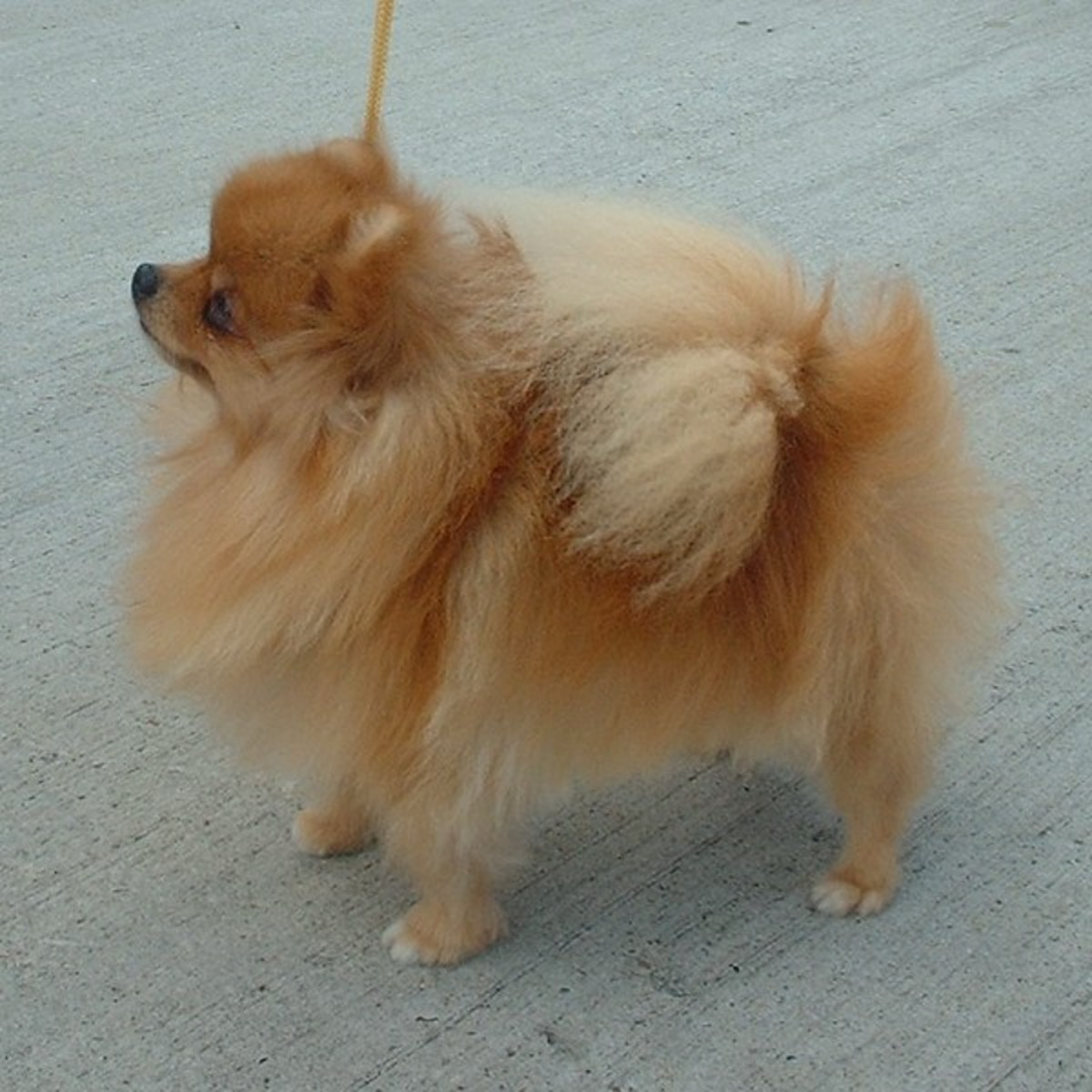 miniature-Pomeranian (a lot of people do not know there is a larger variant of the Pom and that one is the actual ancestor of the Corgi)