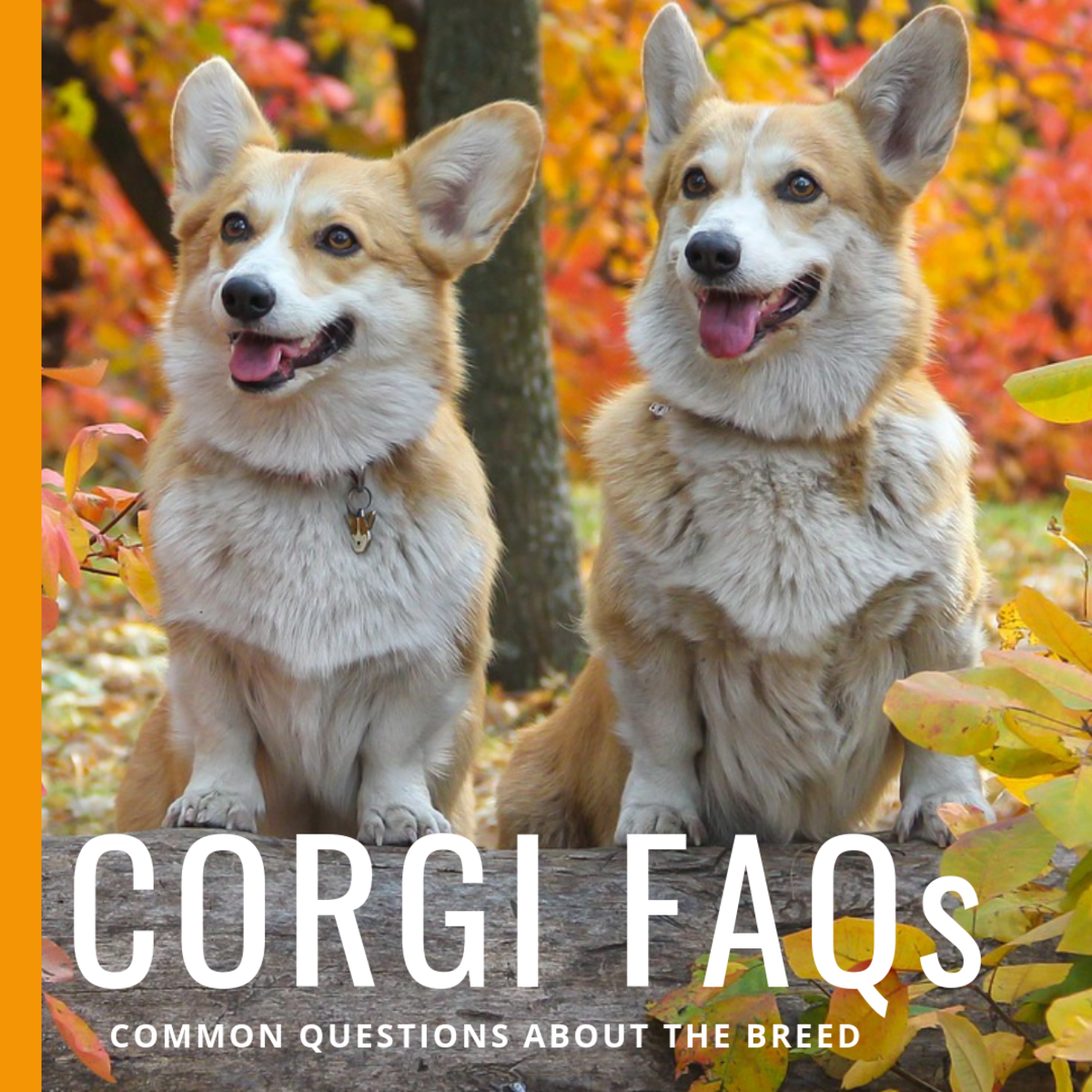 These are some of the questions you might be asking before you get a Corgi.