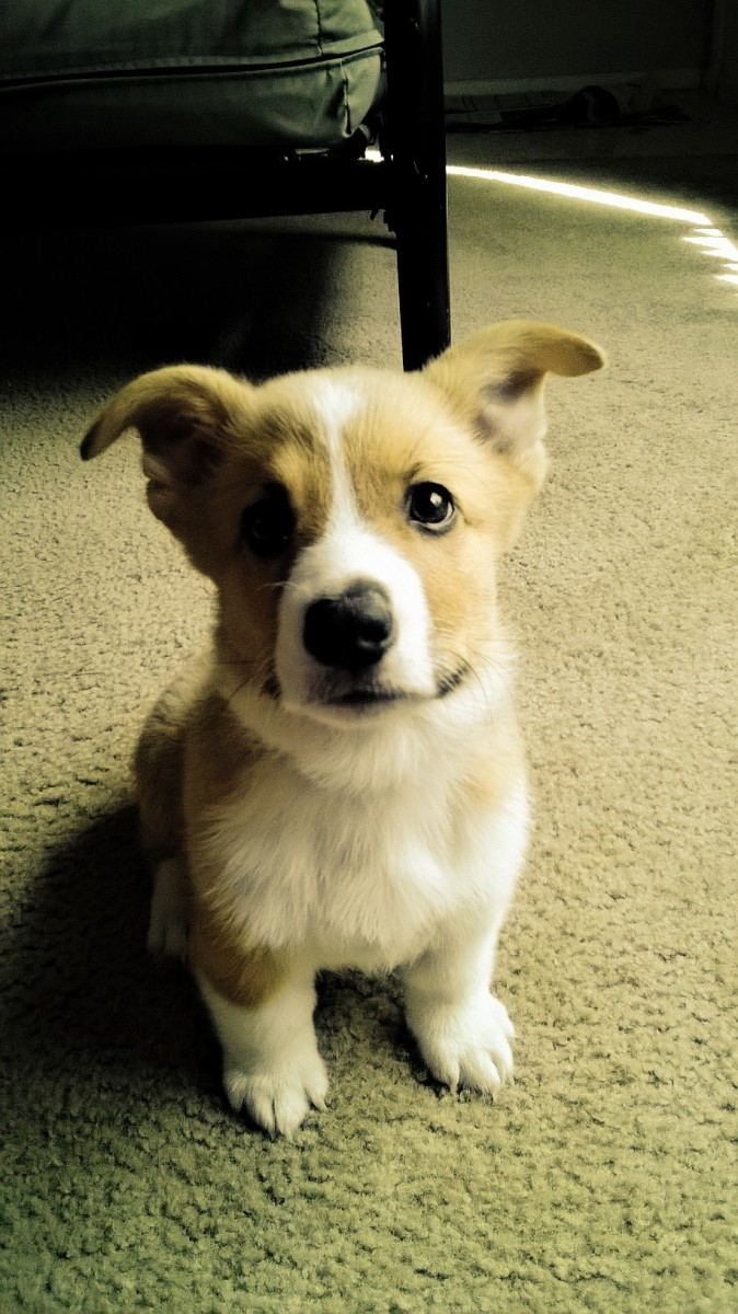 Barney - my Pembroke Welsh Corgi - then 10 weeks old