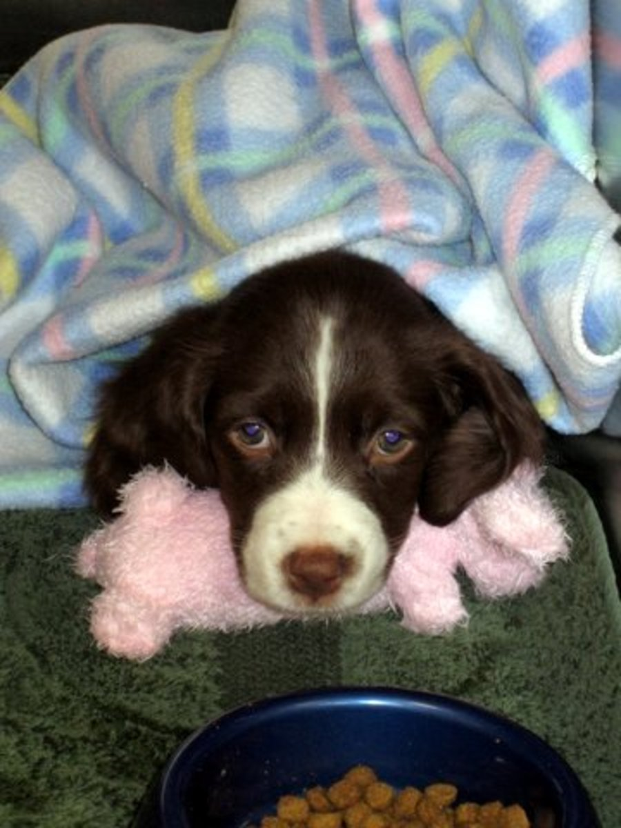 The Brittany is an affectionate puppy and a great dog.