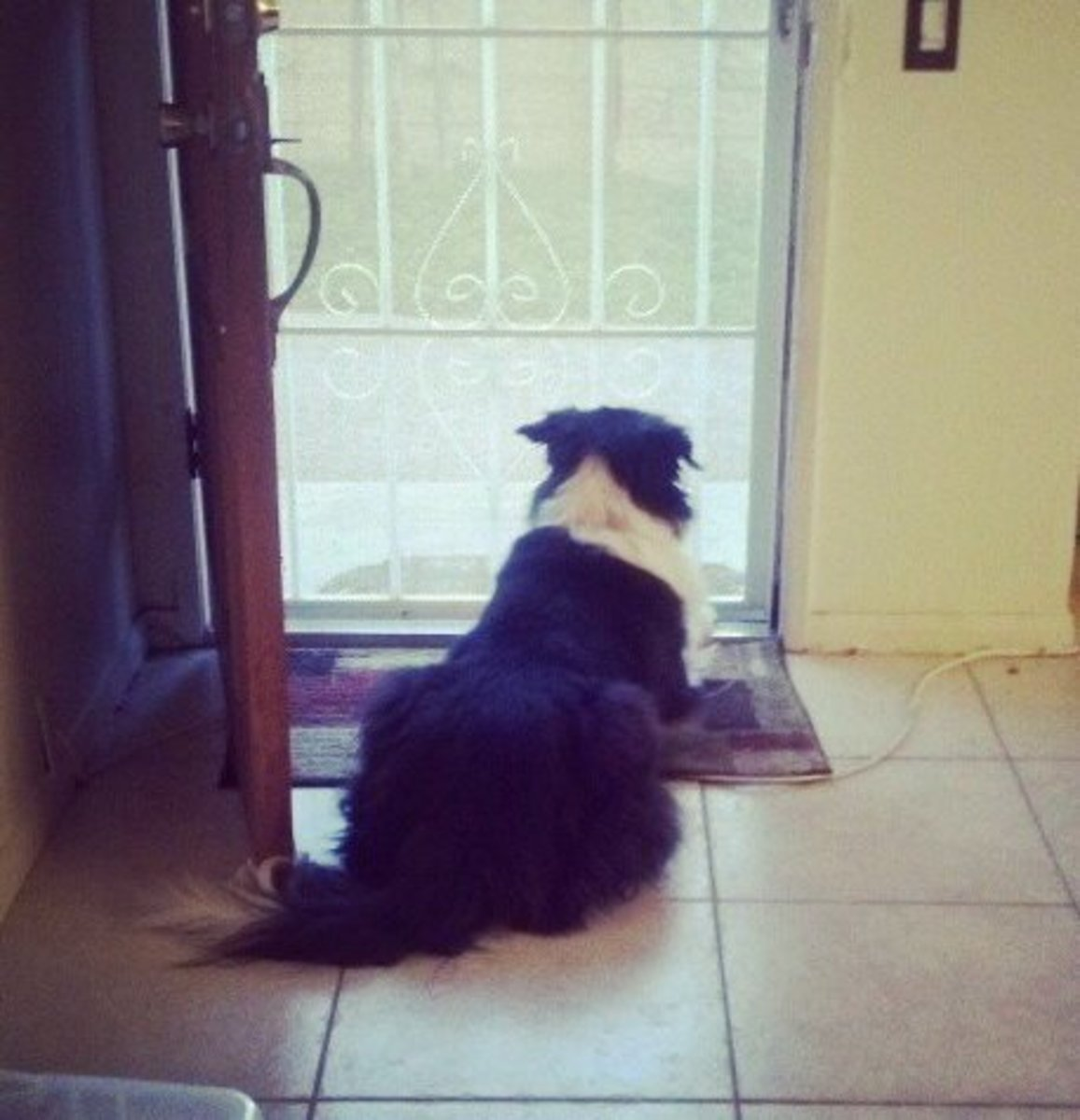 Waiting for the return of his owne. Your Border Collie isn't interested in a yard unless you are in it.