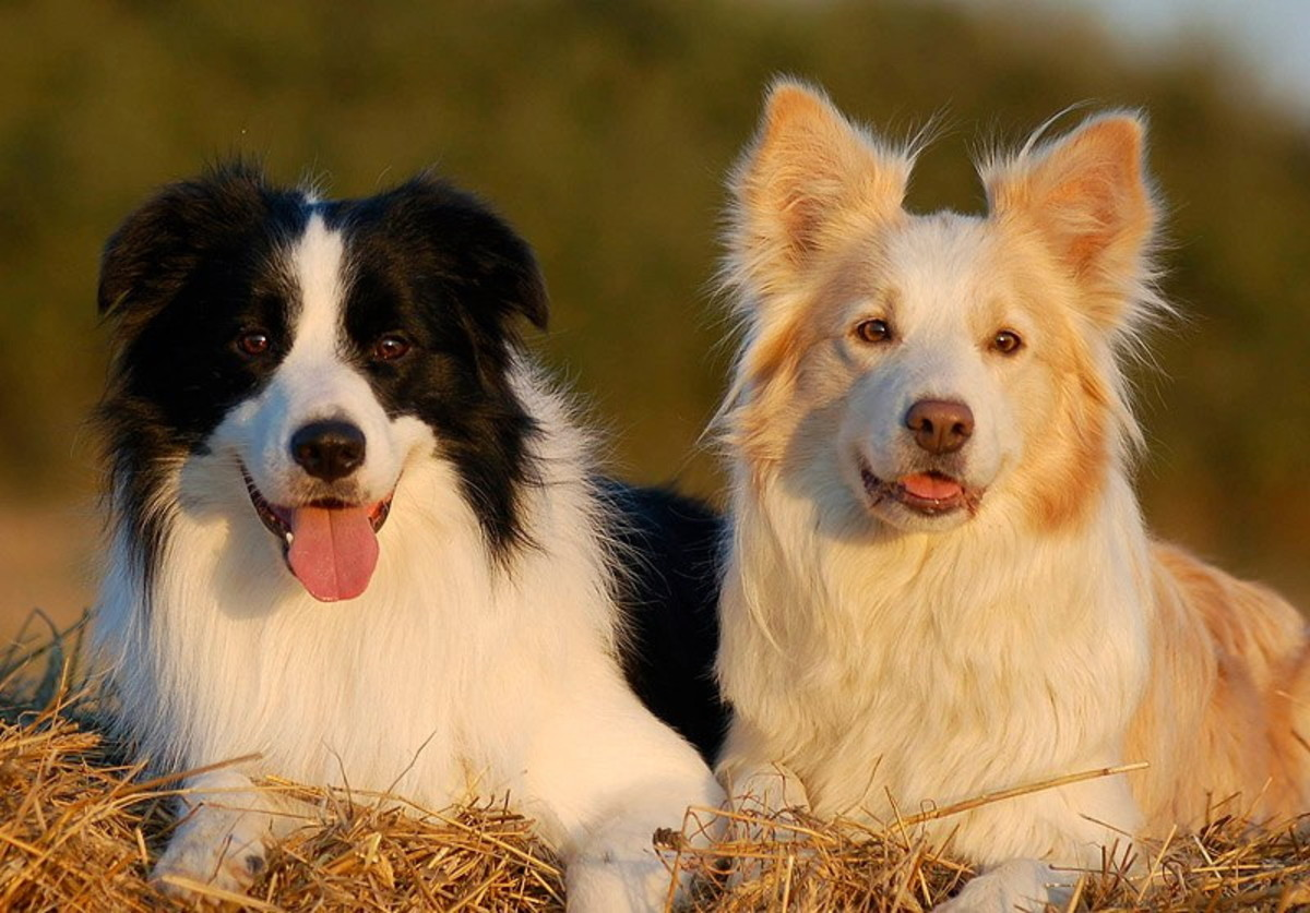 Two beautiful Border Collie's.