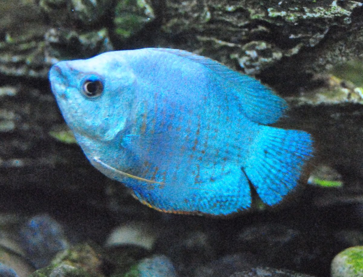 It's possible to keep a single Powder Blue Dwarf Gourami in a 5 gallon tank or fishbowl however they will do much better in a 10 gallon aquarium