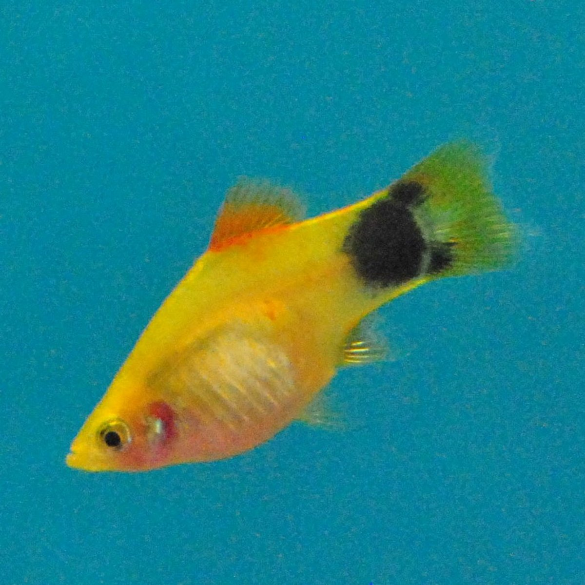 Platy (xiphophorus) does well in fish tanks that are 10 gallons or larger