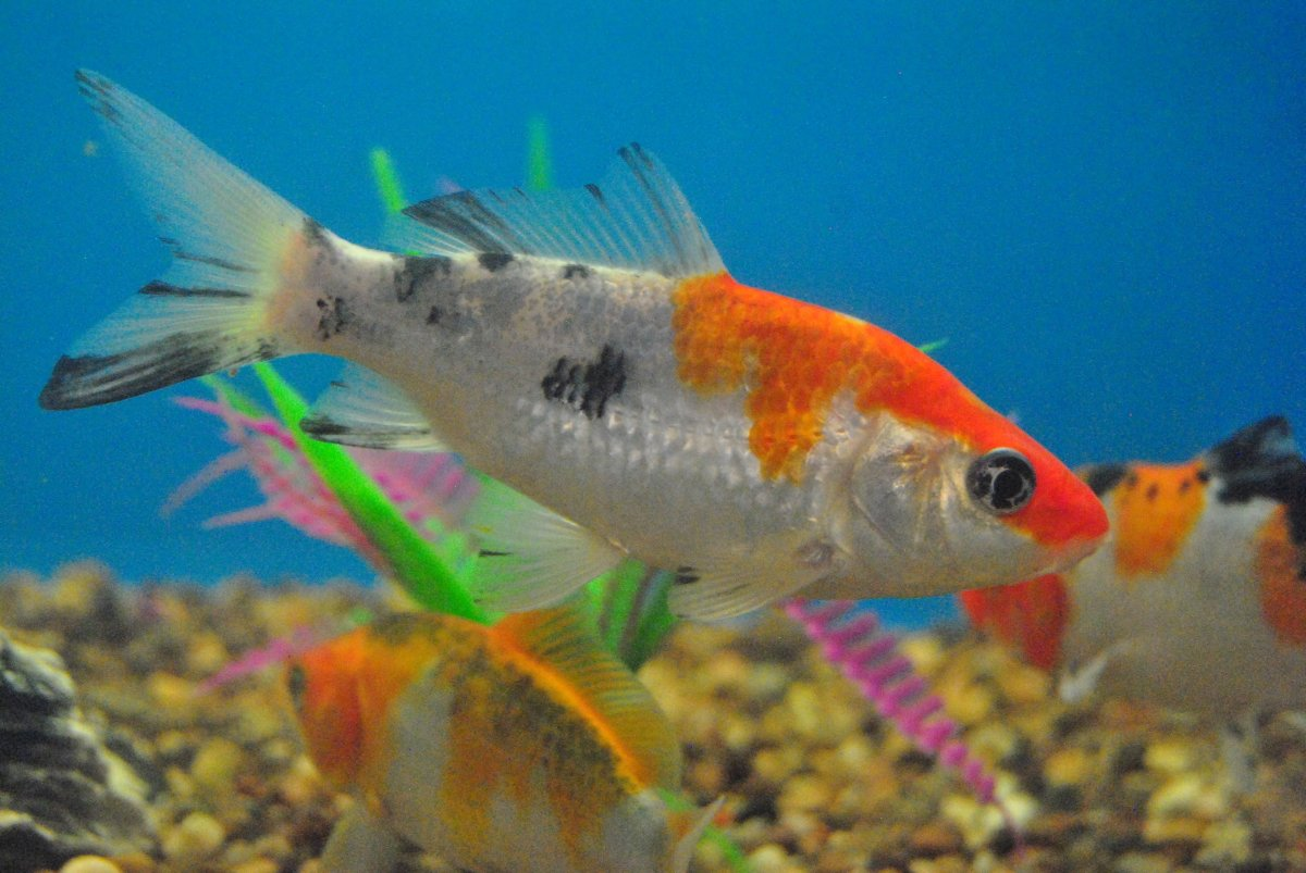 Although Koi look similar to goldfish they can grow up to 36 inches long