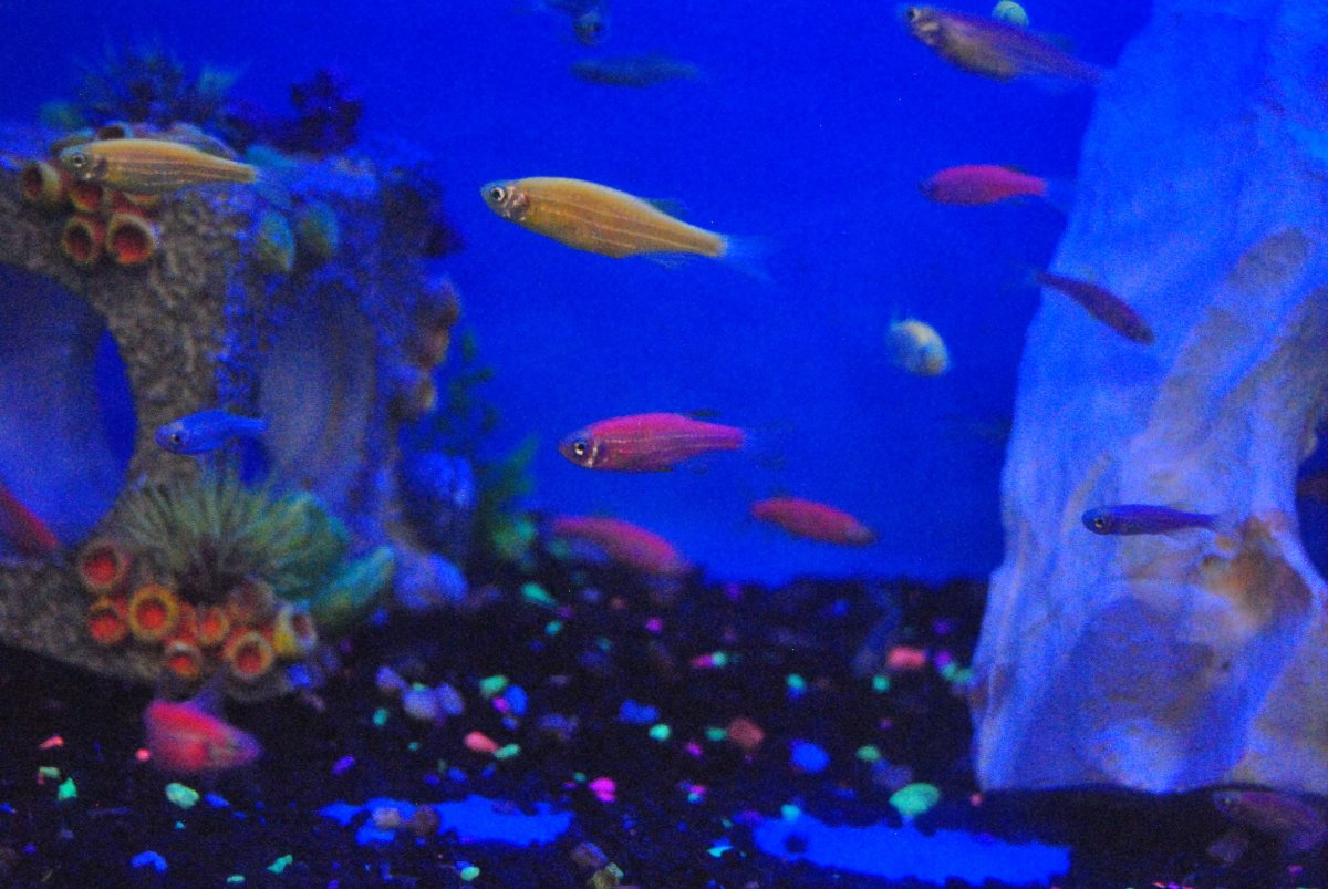 Zebra Danios were used to create the first Glofish.  The colors were produced by introducing fluorescent jelllyfish proteins into the fish embryo.   The trait is passed on to future generations