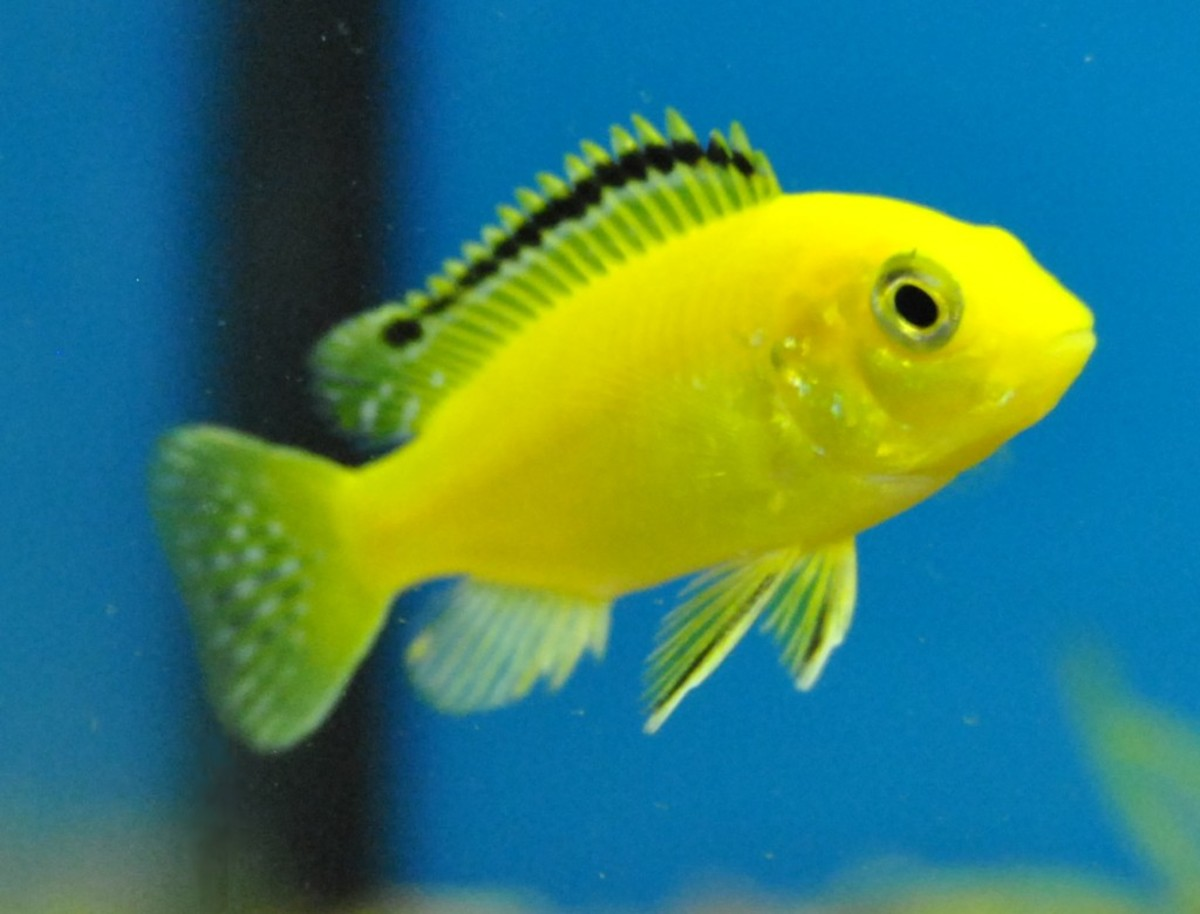 Some Cichlids can be very aggressive and need more space than a small tank or fishbowl can provide.