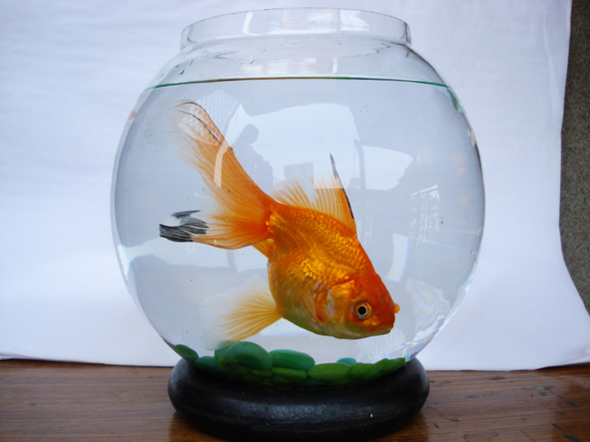 A goldfish kept in a bowl like this is doomed!