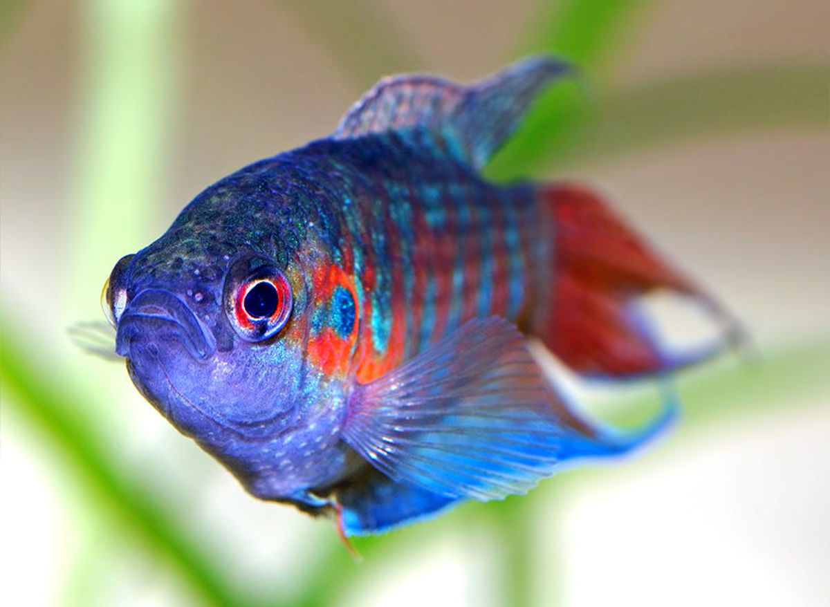 A beautiful paradise fish displaying nice coloration.