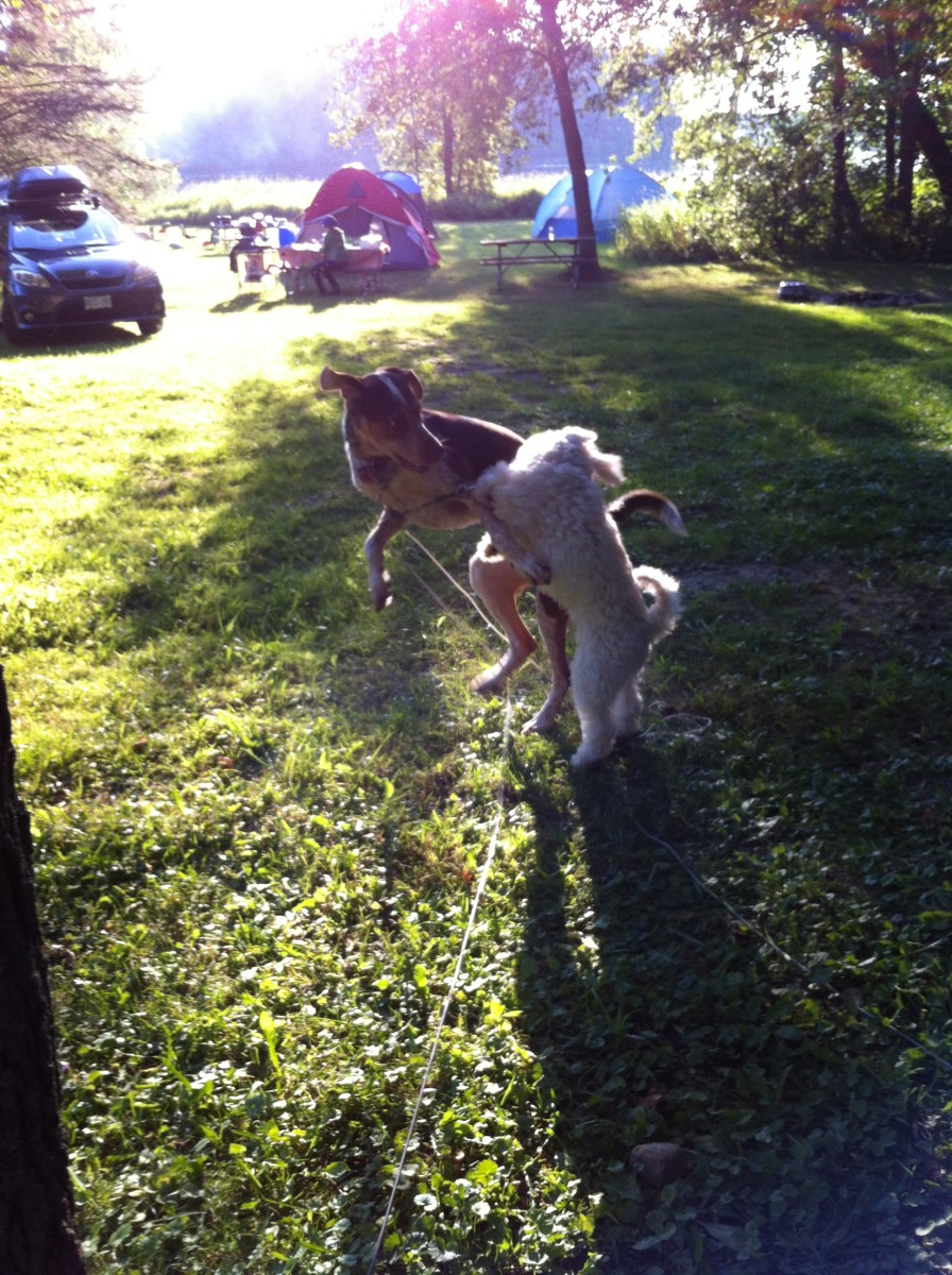 Rufus and his buddy Jasper playing at the camp site. Dogs are naturally curious and can provoke the temper of a bear by barking or nipping at it. Always maintain control over your dog in bear country by keeping them on a leash.