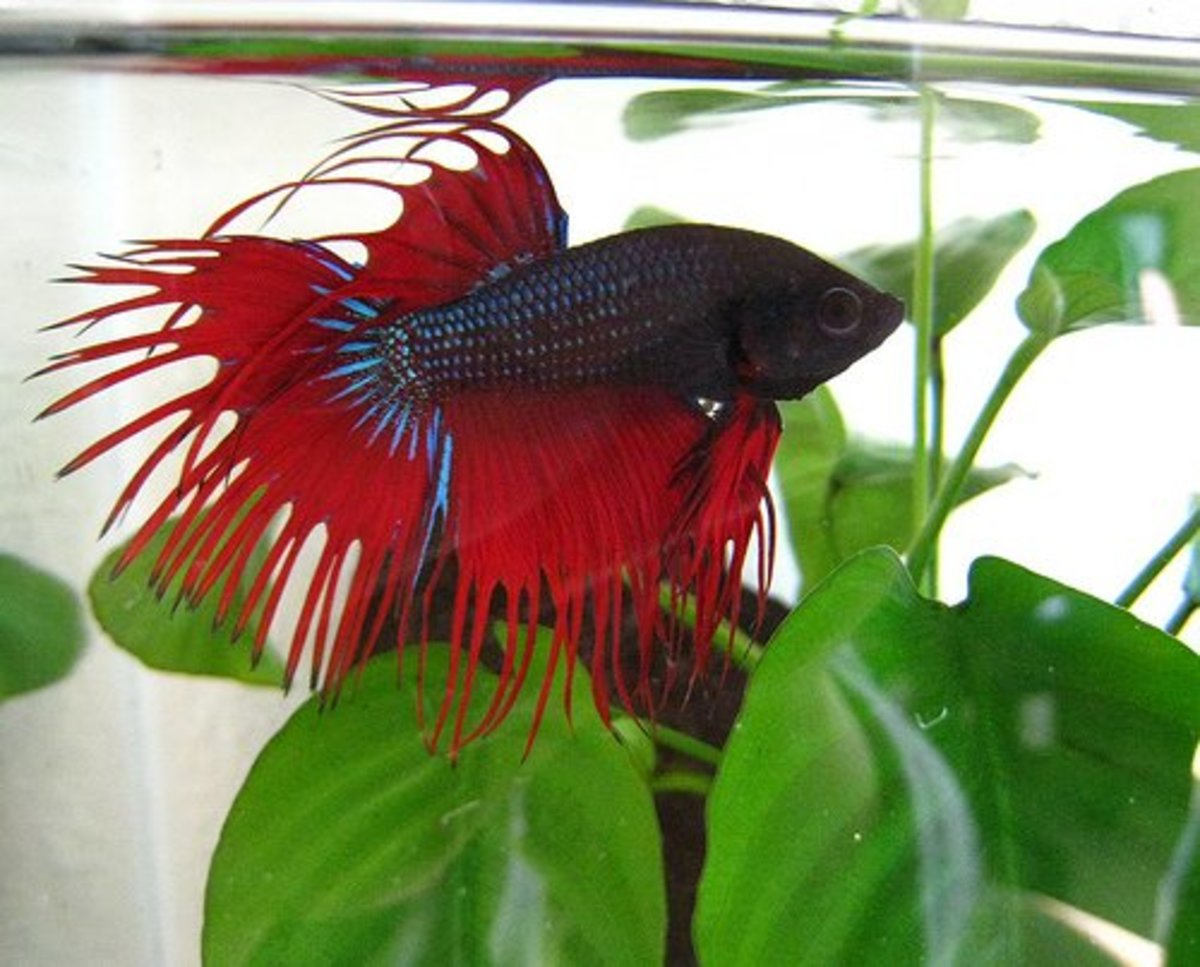 Male betta with beautiful fins.