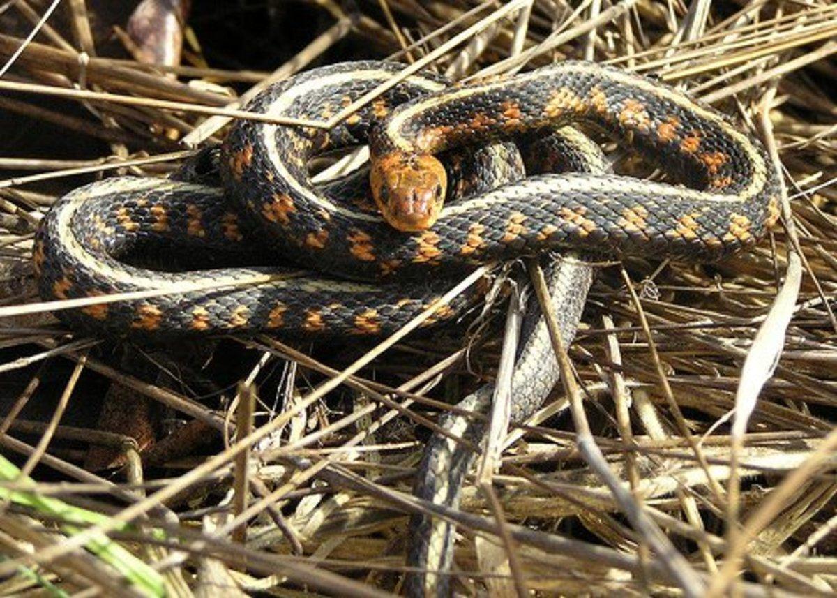 Garter snake in hay pile.