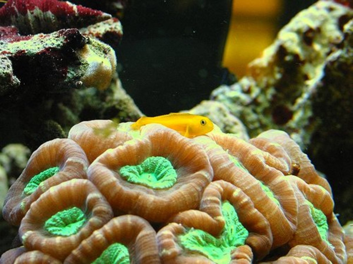 Yellow clown goby on a candy cane coral.