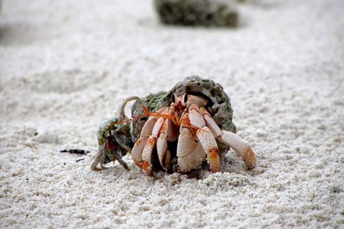 Hermit crabs are social.