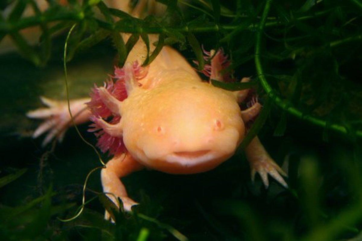 Albino axolotl in some aquatic plants