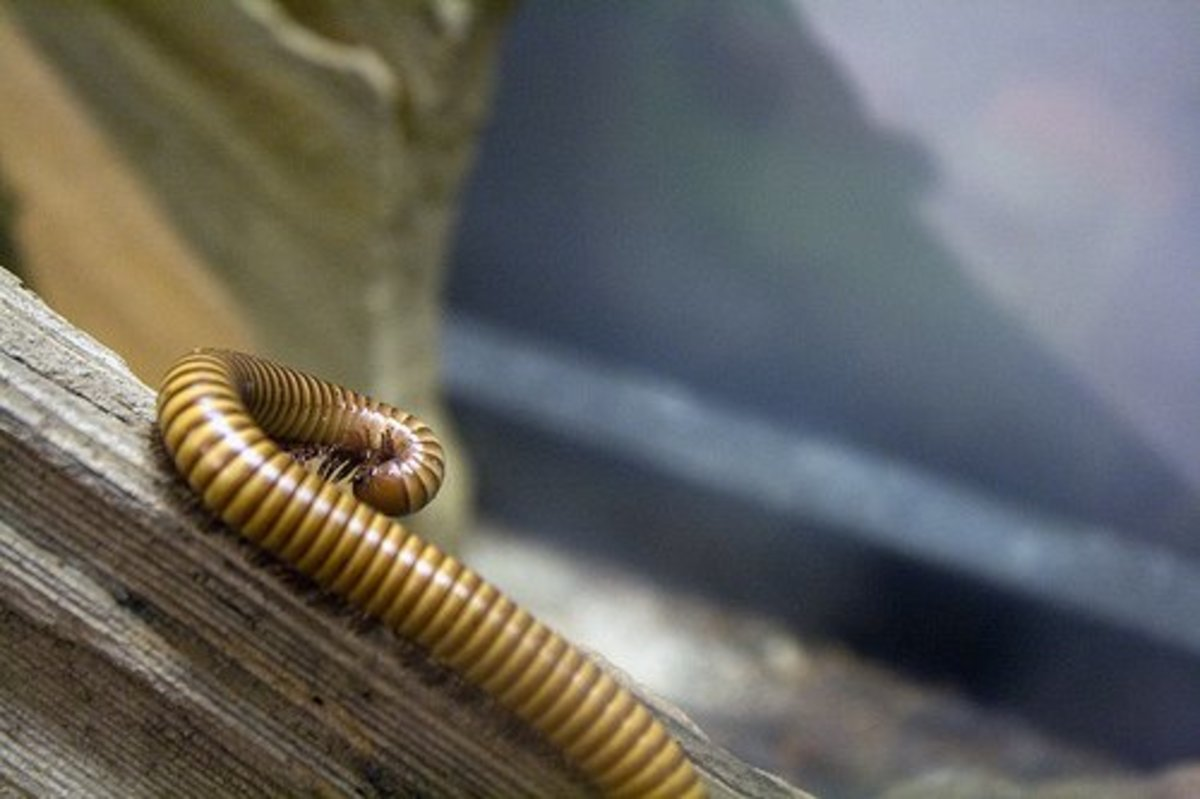 Beautiful yellow millipede