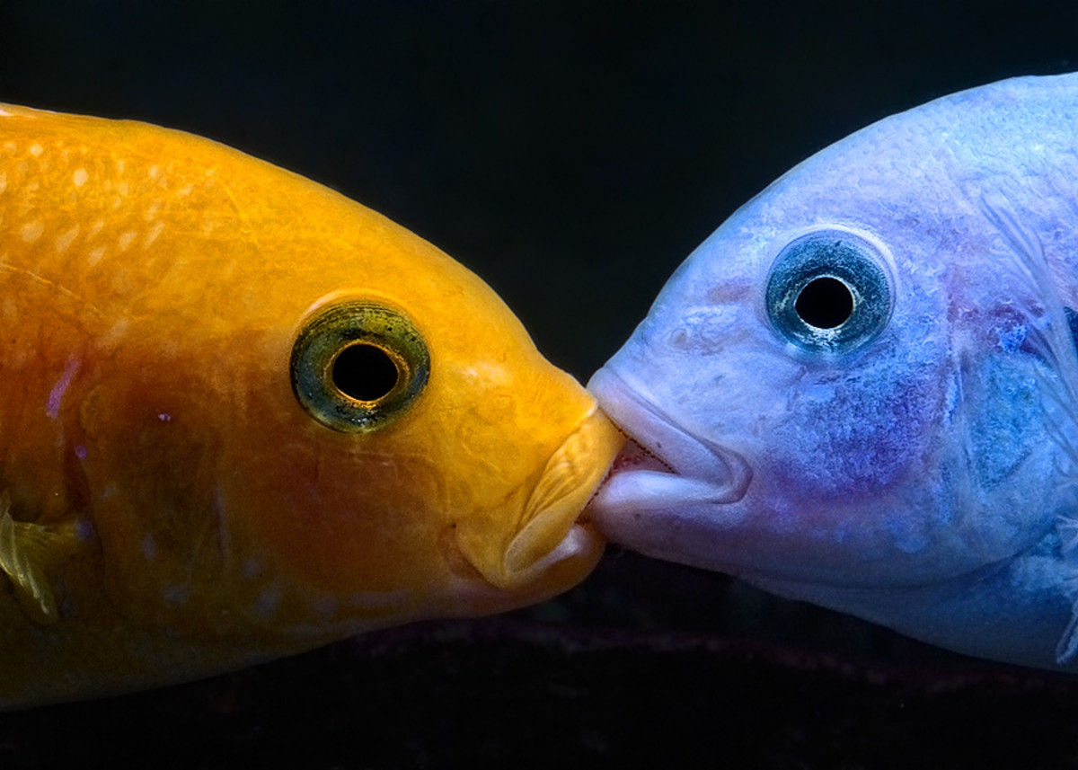 """""""And in the orange corner . . . """" Cichlids engage in mouth-to-mouth combat."""