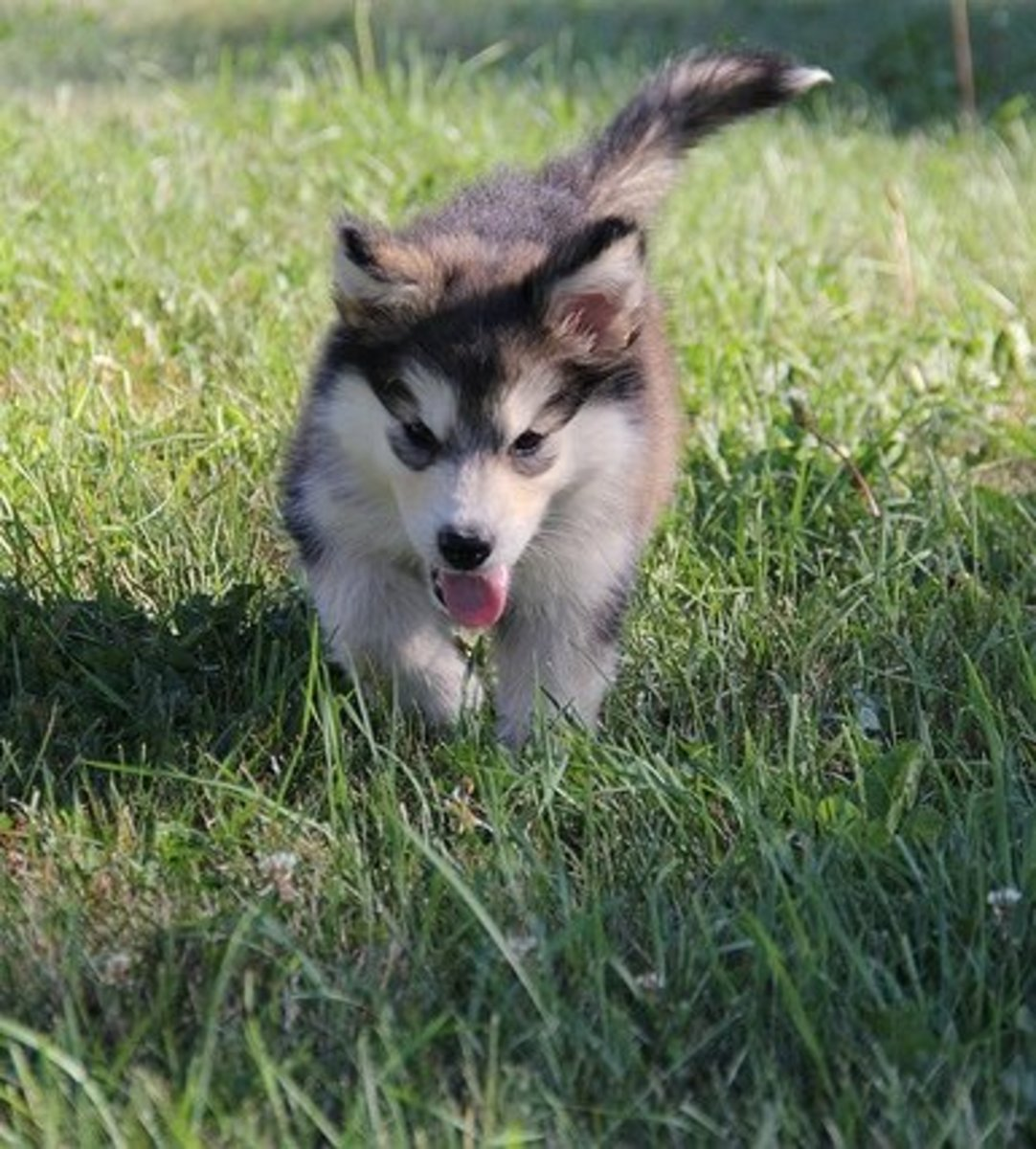 The Alaskan Malamute is another sled dog who does not stink.