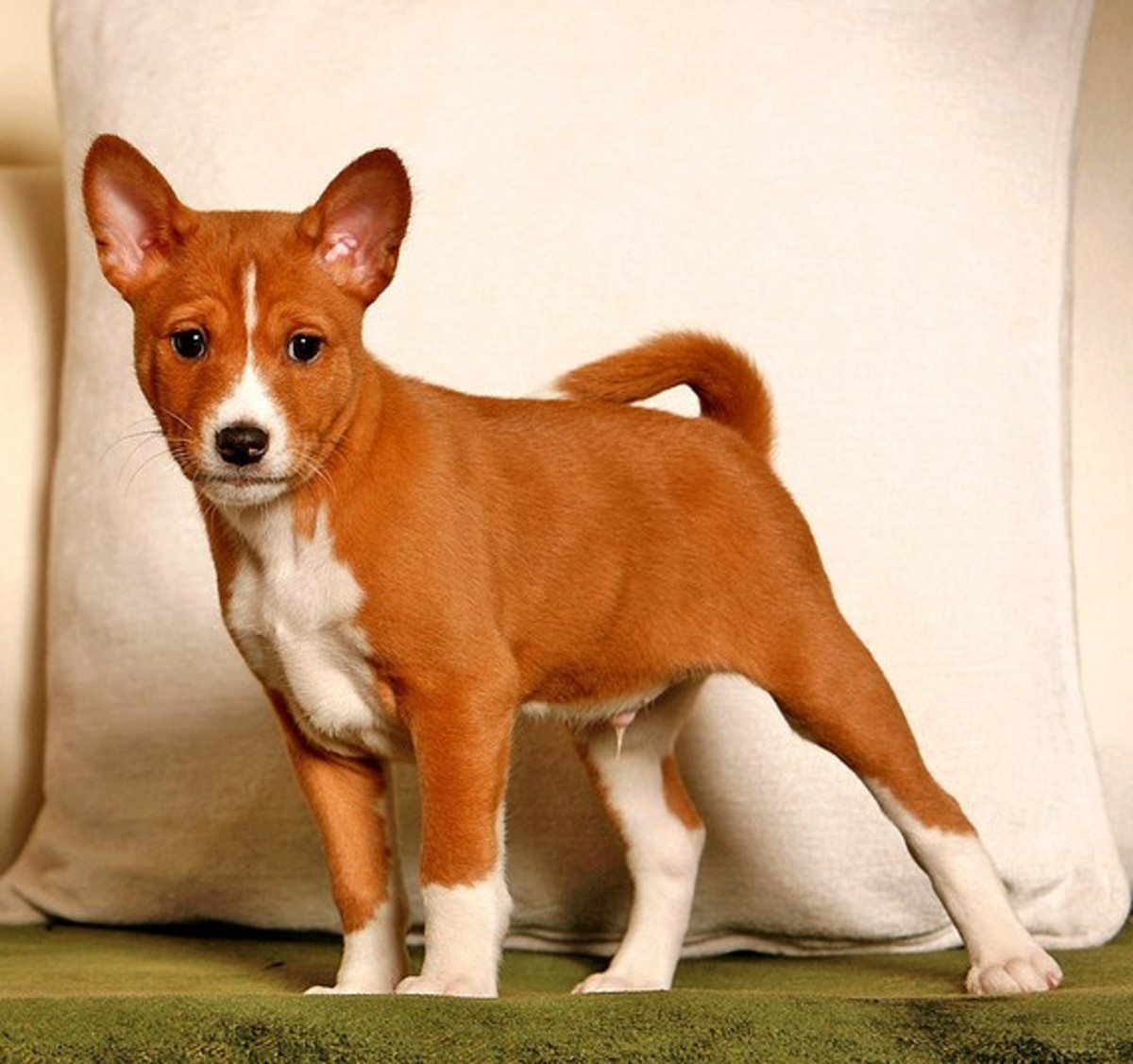 Besides being clean, the Basenji does not bark.