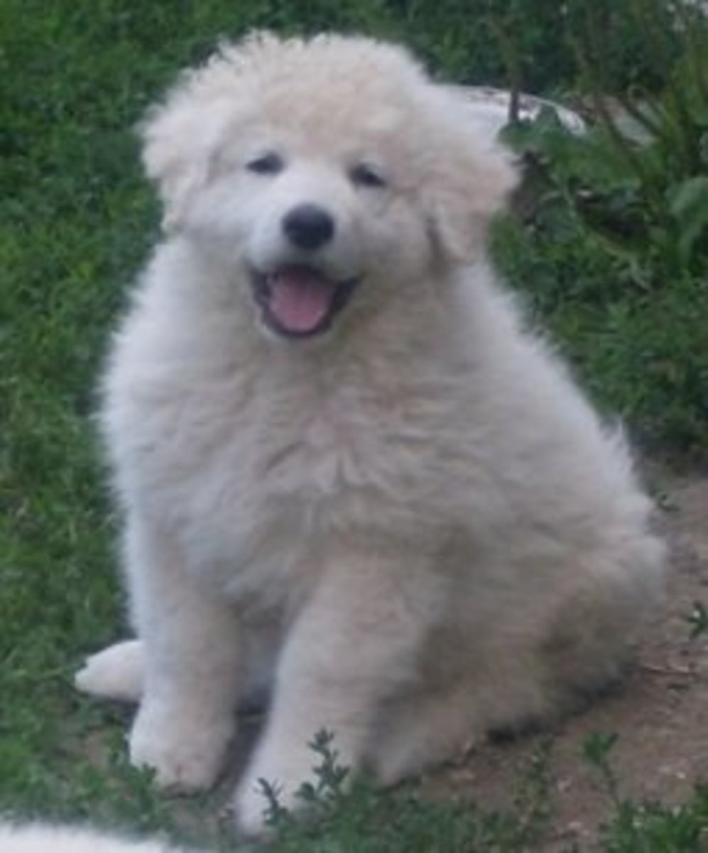 The Kuvasz has a thick double coat with no odor.
