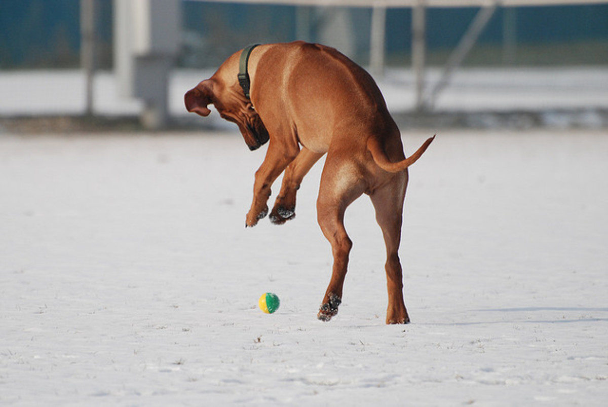 Another Rhodesian Ridgeback hunting a fierce lion (okay, so it is just a rubber ball).
