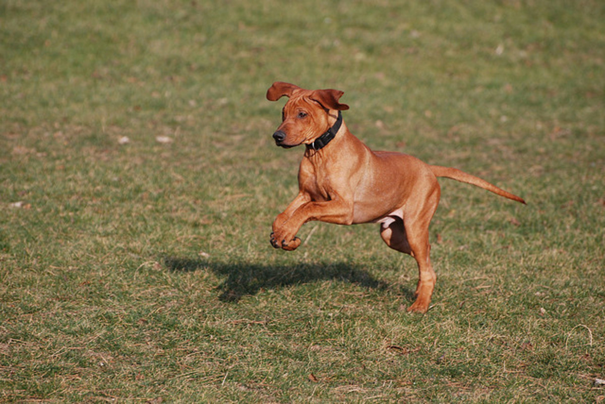 A Rhodesian Ridgeback puppy running like a sighthound.
