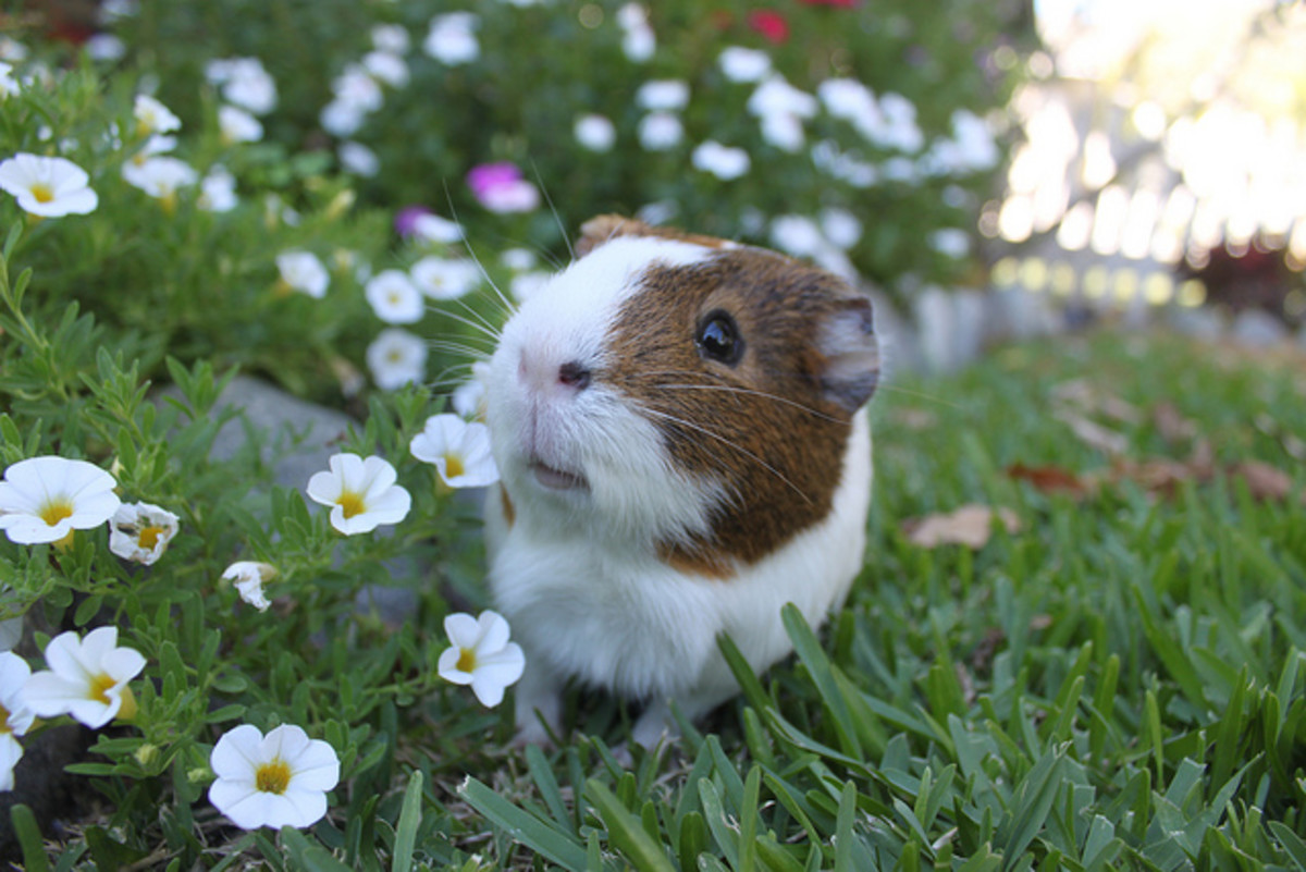 A cool, healthy guinea pig is a happy guinea pig!