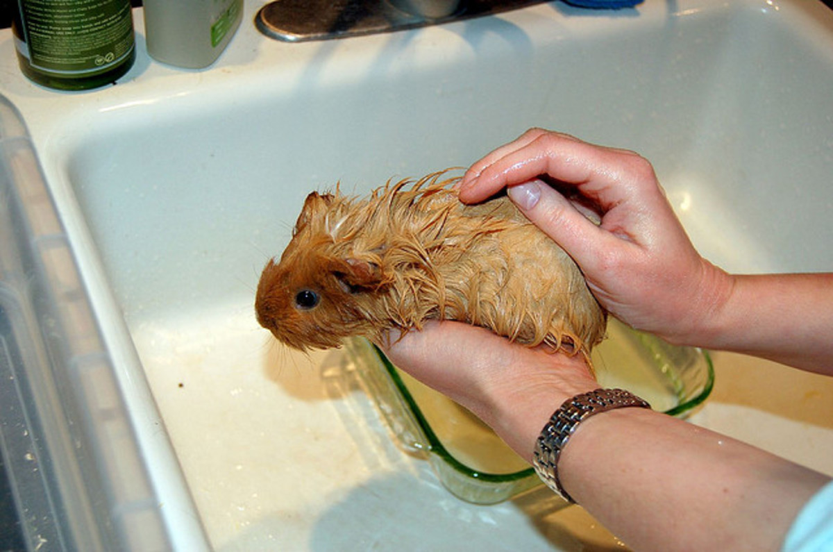 Wet your hand and run it through your guinea pig's fur to slowly cool him down if he's overheated.