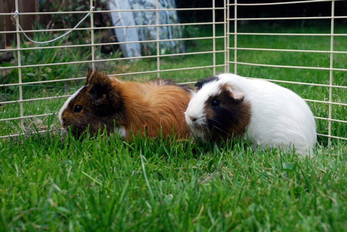 Sometimes it is too hot outside for guinea pigs. They shouldn't be in heat over 75 degrees, ideally, to prevent them from overheating.